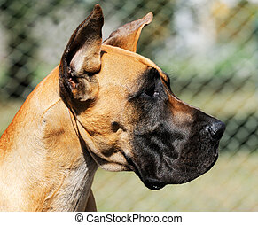 Great Dane Dog portrait - Great Dane Dog outdoor portrait...
