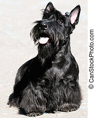 Scottish Terrier - Black Scottish Terrier sitting outdoor,...