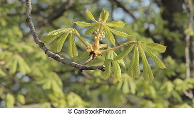 Chestnut Foliage in Spring