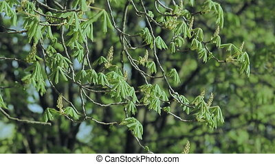 Chestnut Foliage in Spring - Spring leaves of chestnut in...
