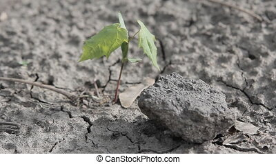Tree Survives in Drought - Sapling sprouted skvz dry stony...