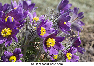 Violet spring easter flowers (Pulsatilla patens) in the...