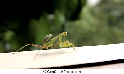 Insect Praying Mantis