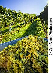 winemaker at vintage in weingarten - vintage autumn in the...