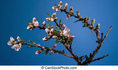 Almond blossom spring background. - Almond blossom spring...