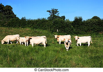 Charolais Cattle Soft Evening Light - Charolais cows and a...