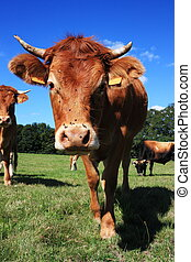 Inquisitive Limousin Cow