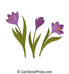 Three violet crocus blooming flowers isolated on white....