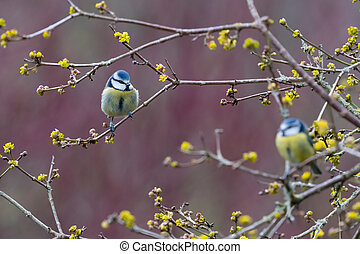 Two blue tits, one defocussed, sitting in tree with yellow...
