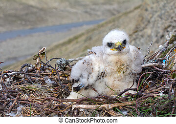 White thick chick Rough-legged Buzzard sitting in nest as...