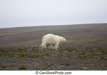 Unusual circumstances: polar bear remained in continental...