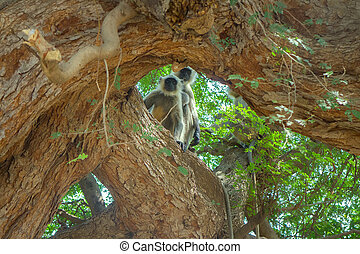 (presbytis, mono, Hanuman, India, sagrado, entellus), Langur...