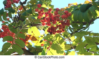 Tree branch with berries of mountain ash - Closeup of orange...