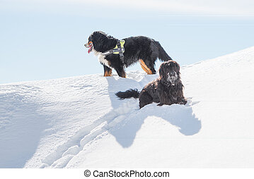Bergamasco Shepherd is Oberland on snow in winter holiday