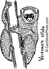 Verreaux's sifaka - vector illustration sketch hand drawn...