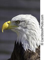 Bald eagle head close-up profile
