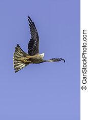 Bird of prey agility in flight - Red kite (Milvus milvus)...