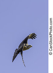 Red kite bird of prey turning in flight - Red kite (Milvus...
