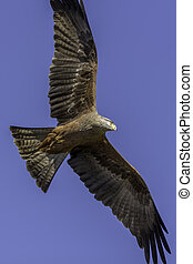 Aerial predator. Magnificent red kite bird of prey flying. -...