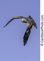 Downward flapping stroke bird of prey flight - Downward...