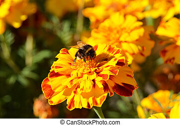 Humble-bee on tagetes flower in rural flowerbed