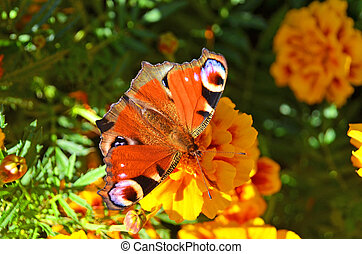 Butterfly on tagetes flower in rural flowerbed