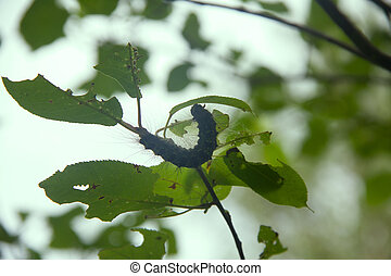 Lymantria dispar caterpillars at sunset. beautiful pest...