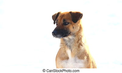dog brown isolated on a white background