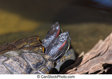 image of Red-eared slider turtle. - close up image of...