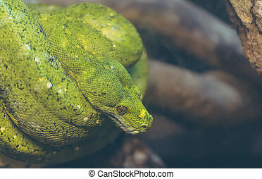 green tree python on tree - close up image of green tree...