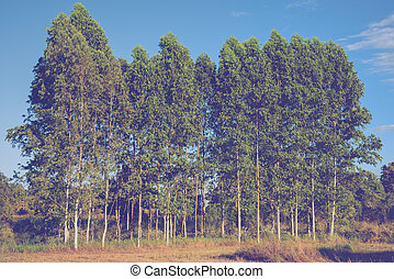 image of tree and blue sky background - Row of eucalyptus...