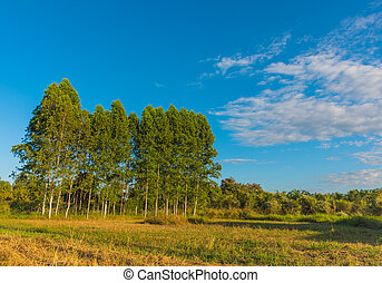image of tree and blue sky background - Row of tree and blue...