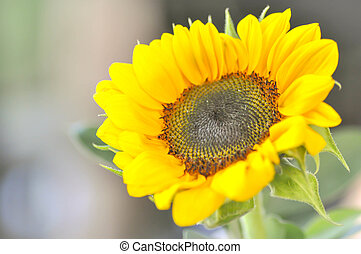 helianthus annuus, sunflower - helianthus annuus, small...