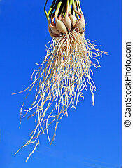 root of the garlic