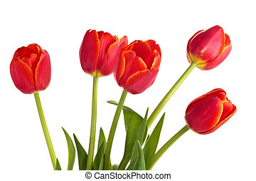 Bouquet of red tulips. - Closeup shot of red tulips in...