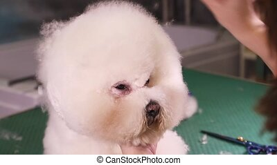 Thoroughbred Bichon Frise dog in pet salon - Groomer comb...