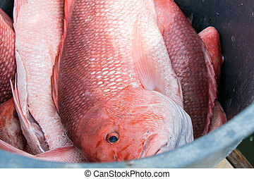 red snapper in bucket - red snapper in metal container