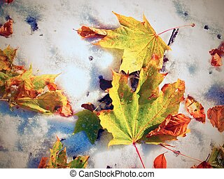 Maple leaves on the frosty ground in winter. Fall frosty...