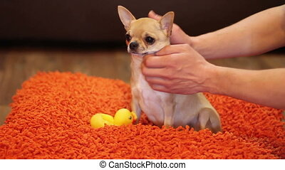 man stroking chuhuahua - man stroking short haired...