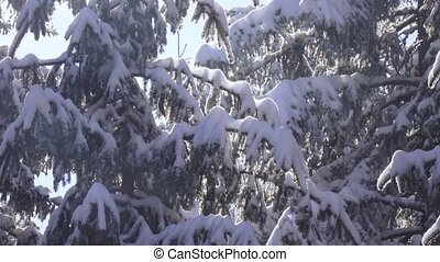 Snow-covered spruce and falling snow - In backlit snowy...