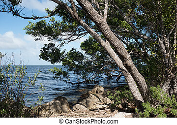 Buttonwood in Biscayne National Park - Buttonwood trees on a...