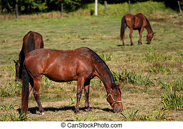 Brown Horse in morning sunlight feeding on grass