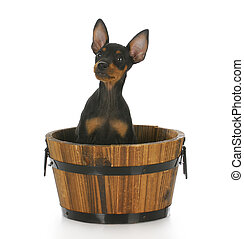 dog in a basket - toy manchester terrier puppy sitting in a...
