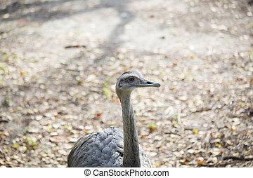 Rhea - A single rhea bird in a natural habitat