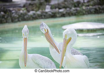 American White Pelican - Three American white pelicans on a...