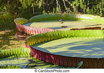 Victoria amazonica - Detail of texture, clolors and shape of...