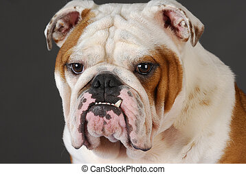 bulldog head portrait - male english bulldog head portrait...