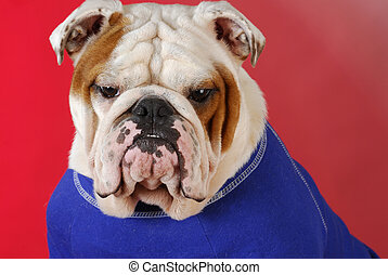 english bulldog wearing blue sweater