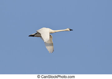 Tundra Swan Migrating in the Spring - Ontario, Canada -...