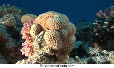 Corals in the form of ball on background underwater landscape in Red sea.